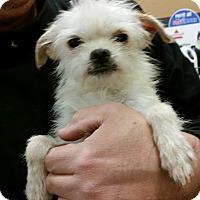 Adopt A Pet :: Nick - 5 lb wirey cutie! - Phoenix, AZ