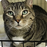 American Shorthair Cat for adoption in levittown, New York - CHINA