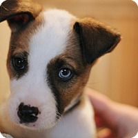 Adopt A Pet :: Vixen - Mt. Prospect, IL
