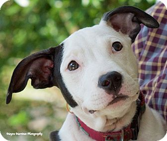 Terrier (Unknown Type, Medium)/Bull Terrier Mix Dog for adoption in Chattanooga, Tennessee - Polly