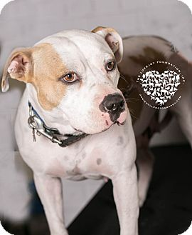 Hound (Unknown Type)/Pit Bull Terrier Mix Dog for adoption in Inglewood, California - Madeline