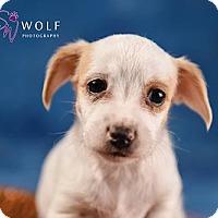 Adopt A Pet :: Mango - Cary, NC