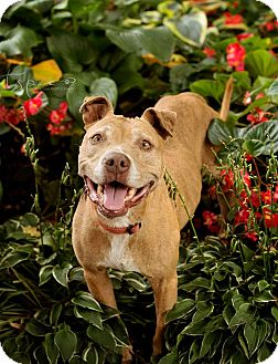 Pit Bull Terrier Mix Dog for adoption in Springfield, Missouri - Fiona