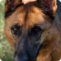German Shepherd Dog Dog for adoption in Dripping Springs, Texas - Sahara