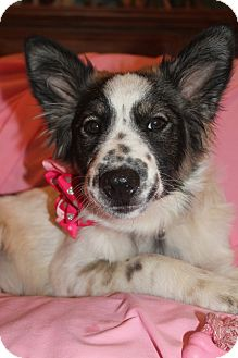 Australian Shepherd Mix Puppy for adoption in Burlington, Vermont - Sparkles (has been adopted)
