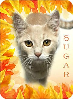 Domestic Shorthair Cat for adoption in Columbia, Tennessee - Sugar
