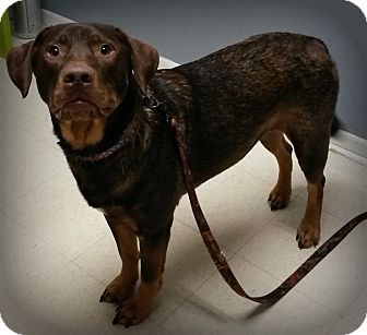 Labrador Retriever Mix Dog for adoption in Muskegon, Michigan - Hank