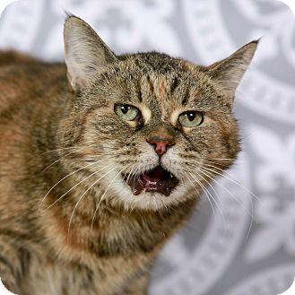 Exotic Cat for adoption in Kettering, Ohio - Granny Mara