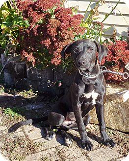 Retriever (Unknown Type) Mix Puppy for adoption in West Chicago, Illinois - Zita