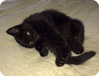Domestic Mediumhair Kitten for adoption in Fairfax, Virginia - Fab Four