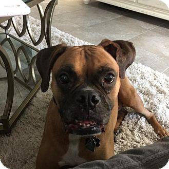 Boxer Dog for adoption in Central & West Florida, Florida - Alli Gator
