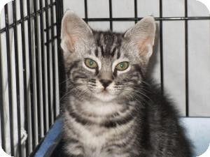 Domestic Shorthair Cat for adoption in Milwaukee, Wisconsin - Jazzpurr