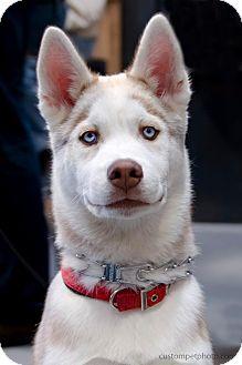 Siberian Husky Puppy for adoption in Vista, California - Harry