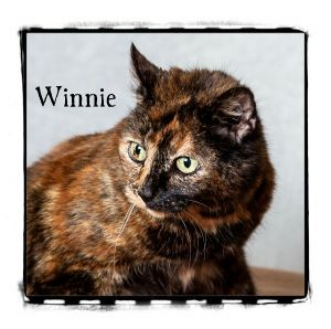 Domestic Shorthair Cat for adoption in Warren, Pennsylvania - Winnie