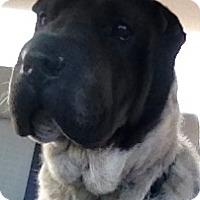 Adopt A Pet :: Rose - Barnegat Light, NJ