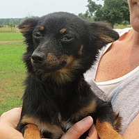 Chihuahua Mix Puppy for adoption in Rochester, New York - Spencer Reed