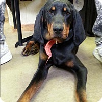 Adopt A Pet :: KODA - Cadiz, OH