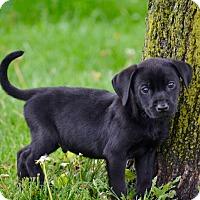 Adopt A Pet :: Archer - New Oxford, PA