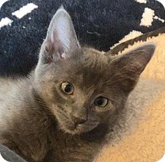 Domestic Shorthair Kitten for adoption in Austin, Texas - Ilene