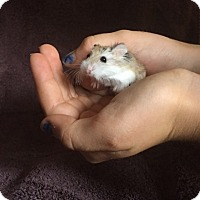 Hamster for adoption in Imperial Beach, California - Vicki (plus Lydya & Brinka)