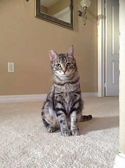 Domestic Shorthair Cat for adoption in Sunderland, Ontario - Kiwi