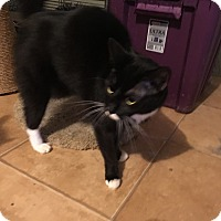 Domestic Shorthair Cat for adoption in Tracy, California - Caroline