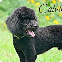 Adopt A Pet :: Calvin - Chester, CT