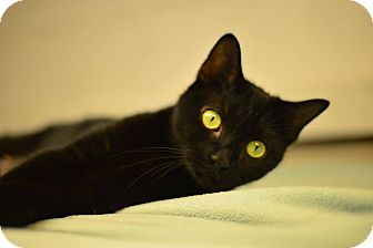 Domestic Shorthair Cat for adoption in Beacon, New York - Raven