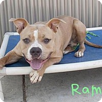Pit Bull Terrier Dog for adoption in Sacramento, California - *RAMBO
