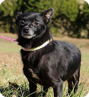 Chihuahua/Spitz (Unknown Type, Small) Mix Dog for adoption in Glastonbury, Connecticut - Pepper~meet me~