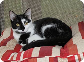 Domestic Shorthair Kitten for adoption in Youngsville, North Carolina - Amarah