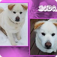 Samoyed/Chow Chow Mix Dog for adoption in Ringwood, New Jersey - Koda