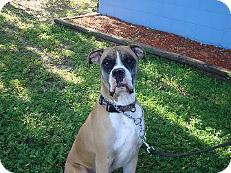 Boxer Dog for adoption in Orlando, Florida - Gunner