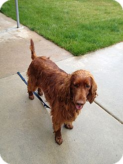 Irish Setter Dog for adoption in Ogden, Utah - Red