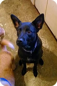 Labrador Retriever/German Shepherd Dog Mix Dog for adoption in High View, West Virginia - Jack
