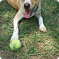Adopt A Pet :: Saint - Knoxville, TN