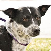 Adopt A Pet :: Susie Pie - Gainesville, FL