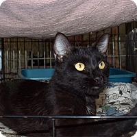 American Shorthair Cat for adoption in Fallbrook, California - Becky