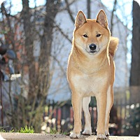 Adopt A Pet :: Takashi - Manassas, VA