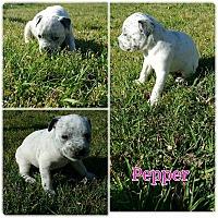 Adopt A Pet :: Pepper - Greensboro, NC