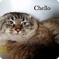 Adopt A Pet :: Chello - Lakewood, CO
