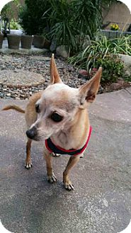 Chihuahua Dog for adoption in LA MIRADA, California - Pinto