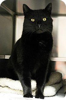 Domestic Shorthair Cat for adoption in Versailles, Kentucky - Blackberry