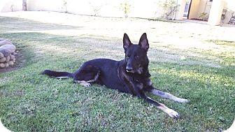 German Shepherd Dog Dog for adoption in San Diego, California - Thor