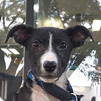 Adopt A Pet :: Gwen - Joliet, IL