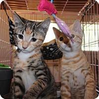 Adopt A Pet :: Nacho - Herndon, VA