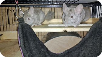 Chinchilla for adoption in Avondale, Louisiana - Grace & Kelli