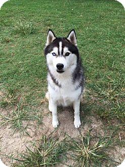 Husky Dog for adoption in Powder Springs, Georgia - CESAR
