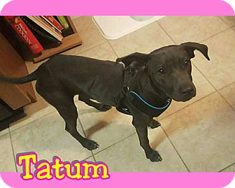 Labrador Retriever Mix Puppy for adoption in Mesa, Arizona - Tatum