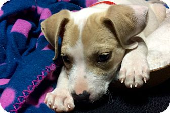 Beagle/Pug Mix Puppy for adoption in Moosup, Connecticut - CARMELLA